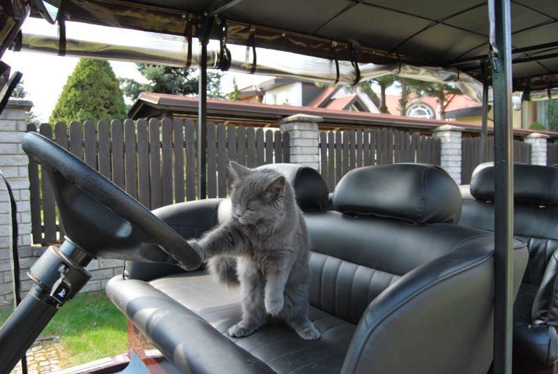 kot kierowca smieszny kot wroclaw kot w meleksie