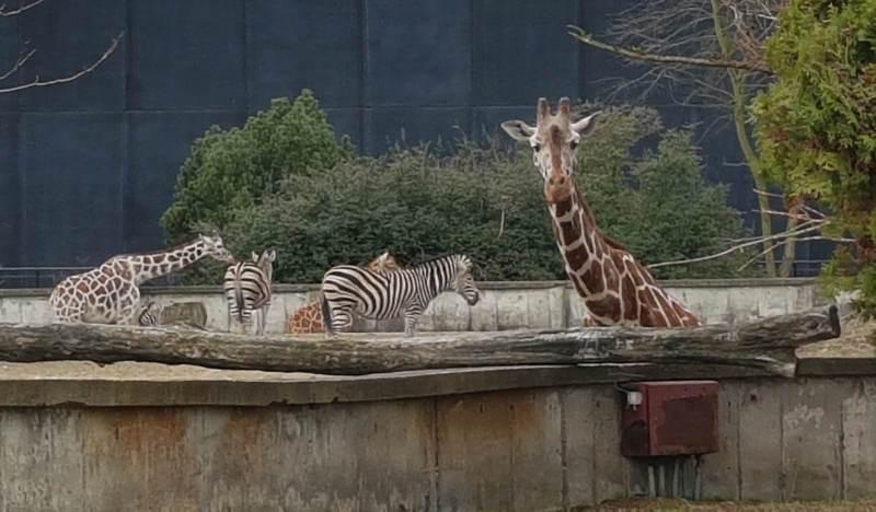zoo wroclaw zyrafa zebry afrykarium zwiedzanie zoo